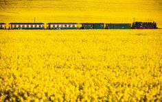 A steam locomotive 99 1782-4 from the year 1953 pulls on a passenger train through a blooming rape field near Posewald on the island Ruegen, northern Germany, on May 19, 2017. (Photo by Jens Büttner/AFP Photo/DPA)