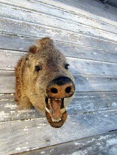 Vintage Collared Shoulder Taxidermy Head Mount Boar Hog PIG dated 1966 by Holliezhobbiez on Etsy