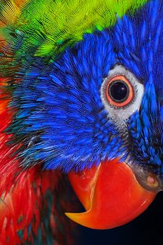 Rainbow Lorikeet, Australia...Karina would like that to be her pet and live with her family.