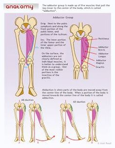 Anatomy Drawing Medical Drawsh: The Adductor Group Leg Anatomy, Muscle Anatomy, Anatomy Study, Anatomy Art, Anatomy Drawing, Anatomy Reference, Human Anatomy, Anatomy Sketches, Anatomy For Artists