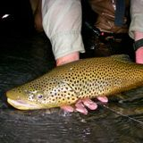This guy is the linebacker of brown trout. We're seriously lucky to have rivers that produce these guys regularly. Fly fishing in Utah's hidden waters. #flyfishing #fishing #trout http://www.utflyfishing.com