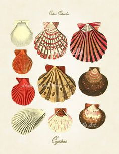 Vintage Seashell Art Print: Colorful Oyster Shells Antique Scientific Illustration Reproduced From Circa 1783 British Text