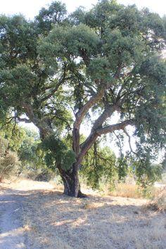 Alcornoque del Monte de El Pardo (Quercus suber)