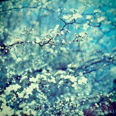 Flower Photography Cherry Blossom Deep Blue Forest by StudioYuki