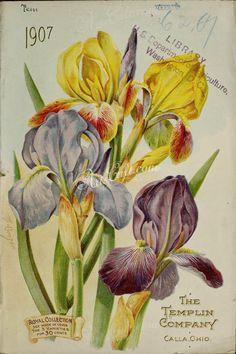 Iris Season Ticket Schwertlilie Bartiris