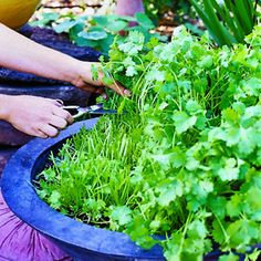 "try this for continuous cilantro...  need 18"" diameter x 8-10"" deep container Lawn And Garden, Indoor Garden, Outdoor Gardens, Garden Plants, Big Garden, Cilantro Plant, Cilantro Growing, Growing Coriander, How To Grow Coriander"