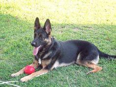 German shepherd dog. Beautiful! #germanshepherd