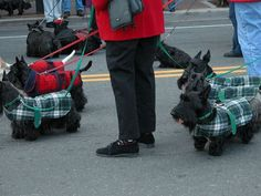 Images of Scotland Scottish Terriers wearing KILTS