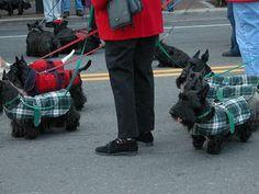 Scottish Terriers wearing plaid