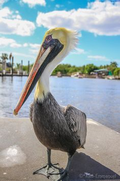 Pelican in the Everglades, Florida
