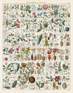 Oken Antique Flower & Plant Charts 1843