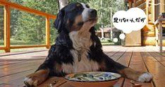 老犬が痩せる原因は食事(ドッグフード)にしかない - いぬのみみ Bernese Mountain, Mountain Dogs, Food Aggression In Dogs, Organic Dog Food, Can Dogs Eat, Dog Feeder, Love Dogs, Homemade Dog, Organic Homemade
