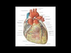 herz anatomie Das herz anatomie eines Menschen schlägt drei Milliarden Mal im Lauf des Lebens und pumpt täglich etwa 8.000 Liter Blut durch den Körper. Der Körpermotor kann seine Leistung extrem steigern: Bei Bedarf (z.B. Sport) verfünfacht es den Blutfluss von 5 auf 25 Liter pro Minute - bei Leistungssportlern sind es sogar noch mehr. Das Herz eines Erwachsenen besitzt etwa die Größe einer Faust und wiegt rund 300 Gramm. Normalerweise schlägt das Herz eines Erwachsenen (in Ruhe) 60 bis 80… Gramm, Sport, Books, Anatomy And Physiology, Dinner Table, People, Round Round, Deporte, Libros