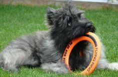 A bouvier des flandres puppy - we had a bouvier, Buddy, for 15 years while I was growing up and he was a wonderful dog!
