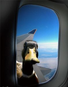 What the Duck ! There is a duck looking thorugh the window on the wing of the plane. Il y a un canard sur l'aile de l'avion qui regarde par la fenêtre Funny Animal Pictures, Cute Funny Animals, Funny Cute, Funny Photos, Funny Images, Duck Pictures, Funny Ads, 9gag Funny, Super Funny