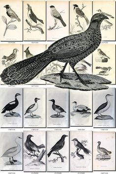 BIRDS-138-bw Collection of 235 black-and-white vintage images High resolution pictures digital download printable animals illustrations book           data-share-from=listing        >           <span class=etsy-icon