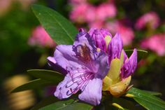 Rhodo Grandiflora