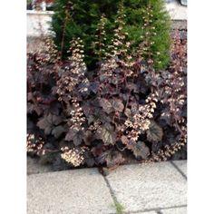 Heuchera micrantha 'Palace Purple'. Purperklokje, rood blad, roze-wit bloeiend. Heuchera, Palace, Texture, Purple, Garden, Plants, Surface Finish, Garten, Lawn And Garden