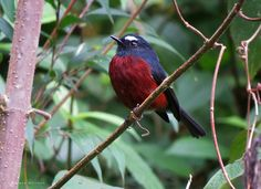 Nombre científico: Ochthoeca cinnamomeiventris Nombre común: Pitajo torrentero English name: Slaty-backed Chat-Tyrant Lugar: Jardín (Antioquia)-Colombia Autor: © Wilmer Quiceno, 2016