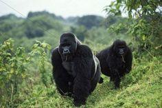 Gorilla beringei, Gorila-oriental (exótica). Congo, Ruanda, Uganda.