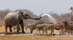 Verkoelende douche voor de zebra's of probeert de olifant ze weg te jagen? Mooi plaatje.  https://fbcdn-sphotos-b-a.akamaihd.net/hphotos-ak-ash3/547253_467212236642800_1679116460_n.jpg