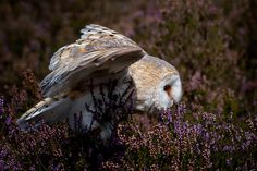 Barn Owl hunting by Mike Pearce on 500px