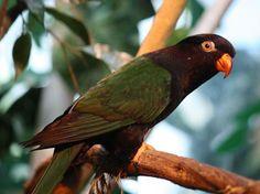 Lorikeet,_Papuan_Ltshears.jpg (800×598)