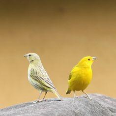Confira lindas fotos de canário-da-terra e compartilhe com seus amigos! Pretty Birds, Beautiful Birds, Animals Beautiful, Canario Da Terra, Colorful Birds, Board, Wild Animals, Kinds Of Birds, Pet Birds