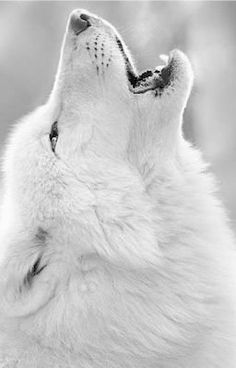 """My mouth dropped open as the wolf stood proudly in front of us. """"Alls, what's up with the wolf?"""" Percy asked, unnerved. that's the wolf that brought me back."""" I trailed off, shocked. The wolf stared at me, its eyes boring into my soul. Nature Animals, Animals And Pets, Cute Animals, Strange Animals, Wild Animals, Wolf Love, Wolf Spirit, Spirit Animal, Wolf Pictures"""