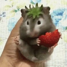 A Rare Strawberry Gerbil