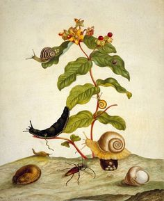 Hyporicum Baxiforum with Snails and Beetle by Maria Sibylla Merian, 1695