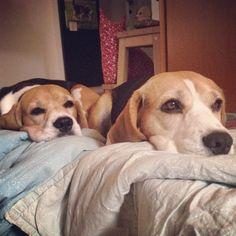Interesting Beagle Friendly Loyal And Loving Ideas. Glorious Beagle Friendly Loyal And Loving Ideas. Cute Puppies, Cute Dogs, Dogs And Puppies, Doggies, Beautiful Dogs, Amazing Dogs, Dogs 101, Doberman Dogs, Adoptable Beagle