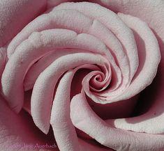 Rose Fibonacci