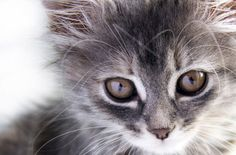 Welcoming a new #kitten into your family is definitely an exciting time!  Here's what you need to take care of before your new kitten arrives home.