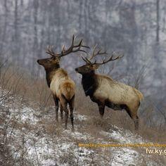 Bull Elk, Elk Hunting, Eagles, Horns, Moose, Deer, Wildlife, Oil Paintings, Wallpaper