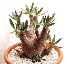 Pachypodium densiflorum