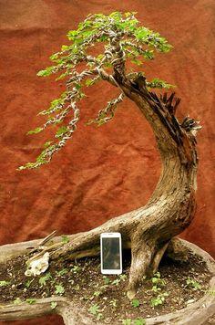 BONSAI SADAO CLUB (bonsai'98)