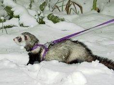 ferret on a leash in the snow