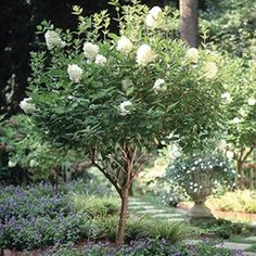Huge Hydrangea Blooms on a Dwarf Tree...Limelight Hydrangea!