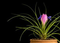 Growing Tillandsia Cyanea