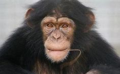 Success! 110 Research Chimps from Notorious Lab Retire to Sanctuary. IT'S A START. http://www.care2.com/causes/success-110-research-chimps-from-notorious-lab-retire-to-sanctuary.html