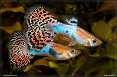 fantail guppy - pretty, but hyper. Fin nippers to other fish & each other at times. Don't seem to live long.