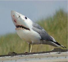 great white sea gull.