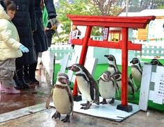 fukui参拝姿愛嬌たっぷり、ペンギン初詣 坂井市三国町の越前松島水族館 福井