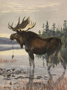 Giclee Print: Painting of a Moose Wading in a Lake and Eating Aquatic Plants by Louis Agassi Fuertes : Moose Pictures, Pictures To Paint, Art Pictures, Photos, Animal Sketches, Animal Drawings, Hunting Art, Hunting Painting, Moose Hunting