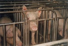 petitie: British animals no longer recognised as Sentient Beings. Meat Packers, Factory Farming, Stop Animal Cruelty, Animal Welfare, Animal Rights, Animal Rescue, Hot Dogs, Canning, Farms