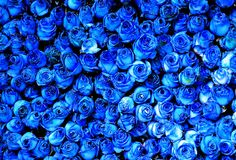 Dozens of blue roses Blue Roses, Blue Flowers, Rose Background, Rose Wall, Language Of Flowers, Stylish Eve, Blue Bonnets, Something Blue, Color Azul