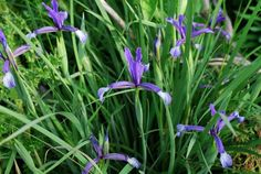 Iris sintenisii DS182