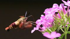 The garden phlox brought this amazing looking Hummingbird Moth! Maybe the coolest thing I've seen in our yard yet.  #nwf #BackyardHabitat #bugs #moth ##HummingbirdMoth #nature #wildlife