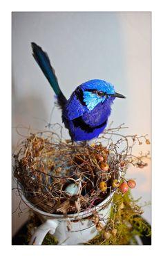 Blue Wren @ Daseti